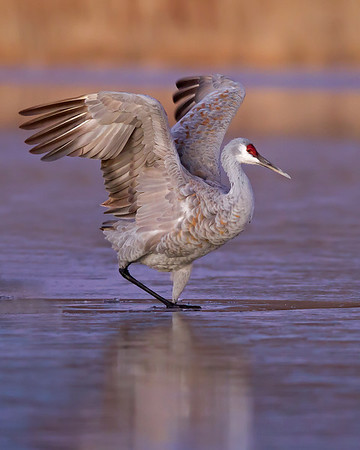 sandhill crane on ice, December in Bosque del Apache, NM