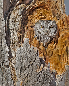 western screech owl in camouflage, December in Bosque del Apache, NM
