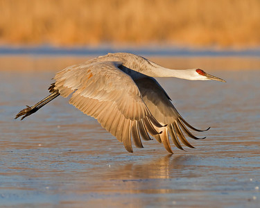 sandhill crane over ice, December in Bosque del Apache, NM