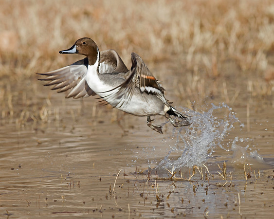 northern pintail drake taking flight, December in Bosque del Apache, NM