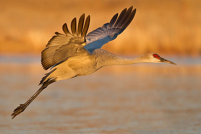 sandhill crane in flight, December in Bosque del Apache, NM
