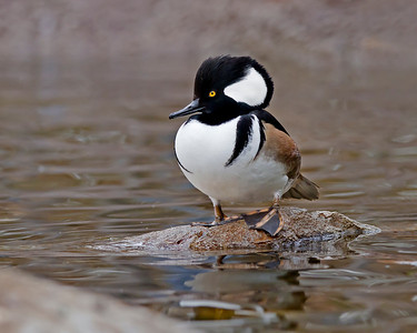 hooded merganser, December in Albuquerque, NM