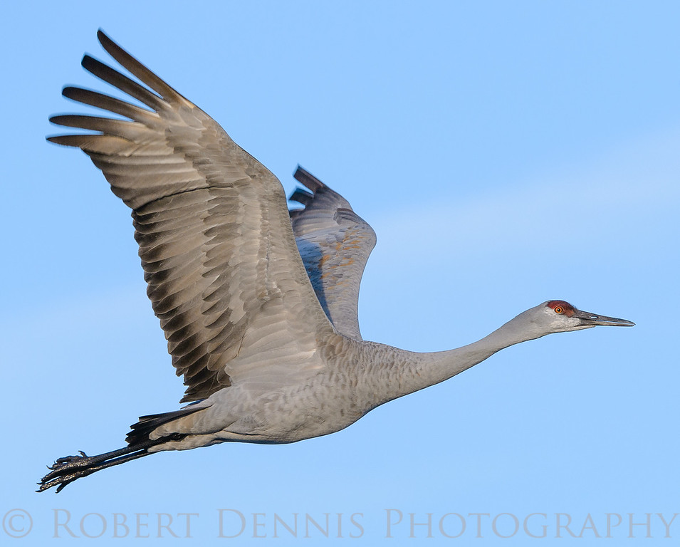 Sandhill Crane in flight, Bosque del Apache NM