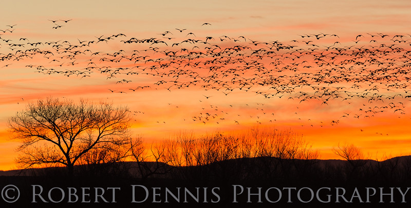 Dawn flight of the Snow Geese, Bosque del Apache