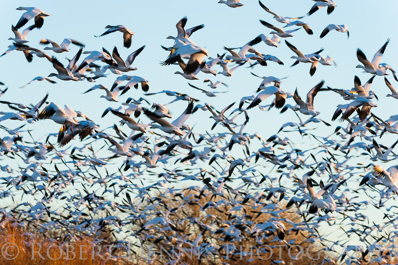 Snowgeese take flight, Bosque del Apache N.M.