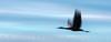Sandhill Crane in flight, Bosque del Apache NM