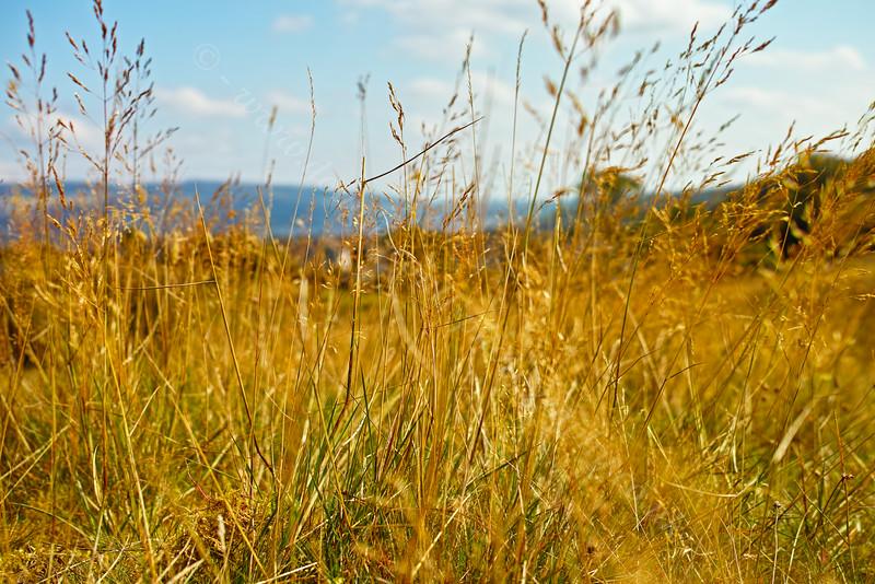 Grass Stems in Langbank - 25 August 2014