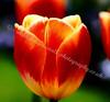 McLean Museum - Tulip