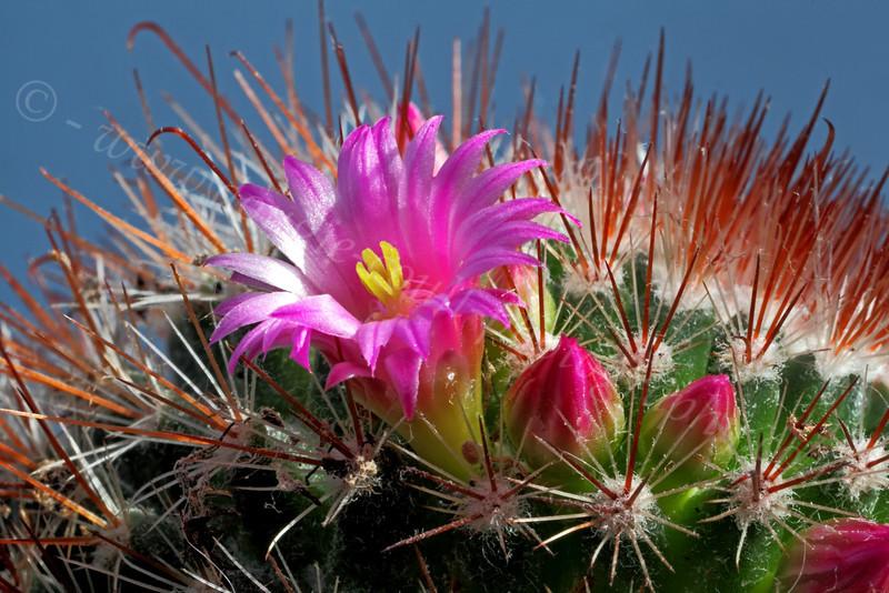 Flowering Cactus - Langbank - 5 May 2012