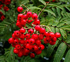 Red Berries in Greenock - 14 August 2014