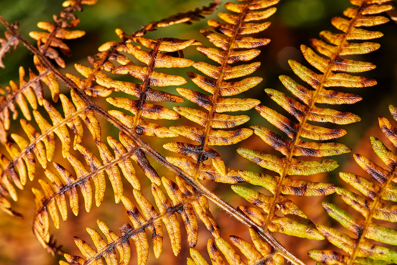 Fern at Cornalees Area near Loch Thom - 6 September 2018