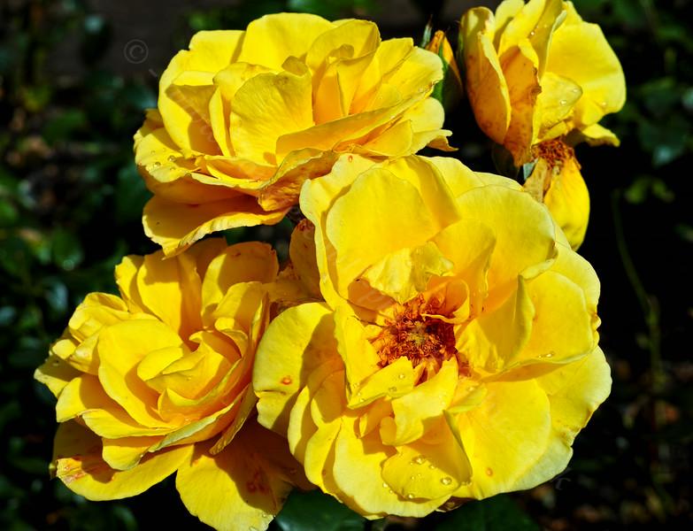 Yellow Rose in Greenock - 14 August 2014