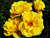 Yellow Rose in Greenock - 14 August 2014
