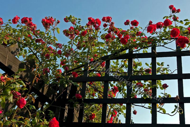 Rose Tressle