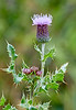 Melancholy Thistle at Lunderston Bay - 8 August 2018