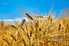 Wheat Feed near Findlater Castle - 6 July 2018
