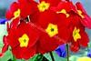 McLean Museum - Flower Garden - Pansies