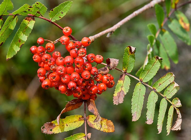 Berries at Cornalees Area near Loch Thom - 6 September 2018