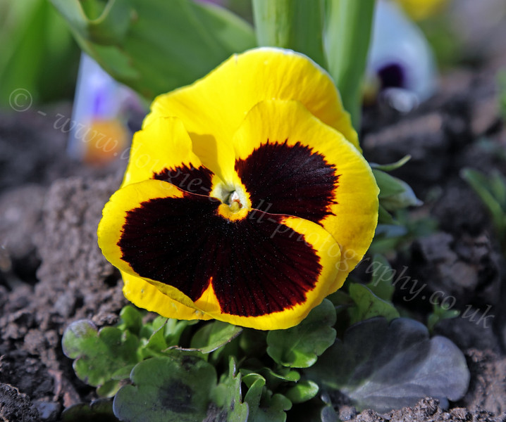 Pansy - Well Park - 5 May 2012