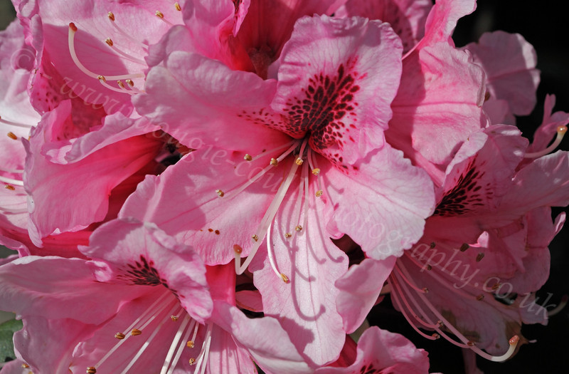 Pink Rhododendron - Greenock Museum Garden - 2 May 2012