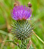Thistle in Langbank - 6 August 2019