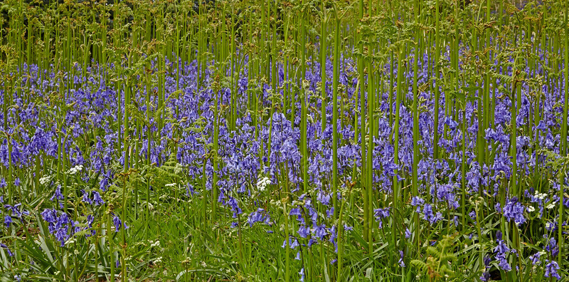 Bluebells at Tower Hill - 15 May 2014
