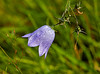 Harebell in Langbank - 6 August 2019