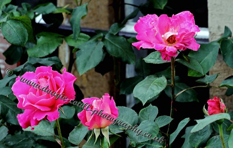 Grosmont Station Roses
