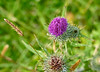 Thistle in Langbank - 1 August 2017