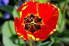 Tulip - Greenock - 2 May 2012