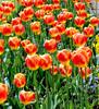 McLean Museum - Flower Garden - Tulips