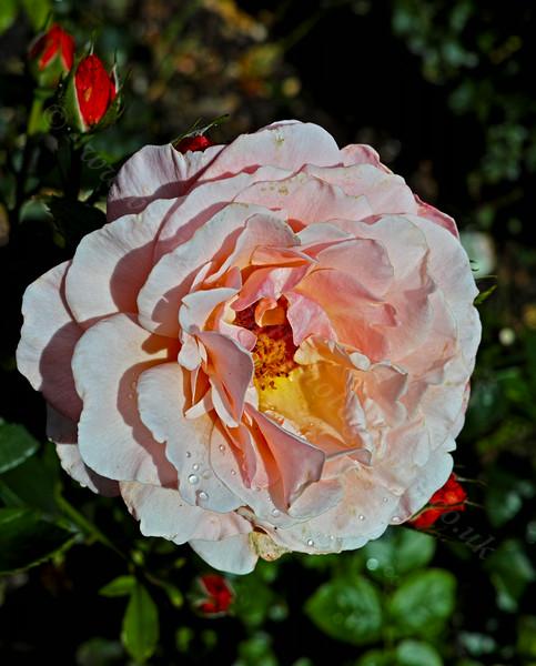 Pink Rose in Greenock - 14 August 2014