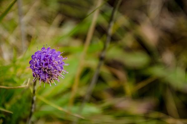 Faroer Flower