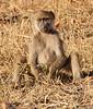 Africa 2012 Botswana Day 9 PM - Linyanti Area - Kings Pool Camp - Baboons Botswana 2012