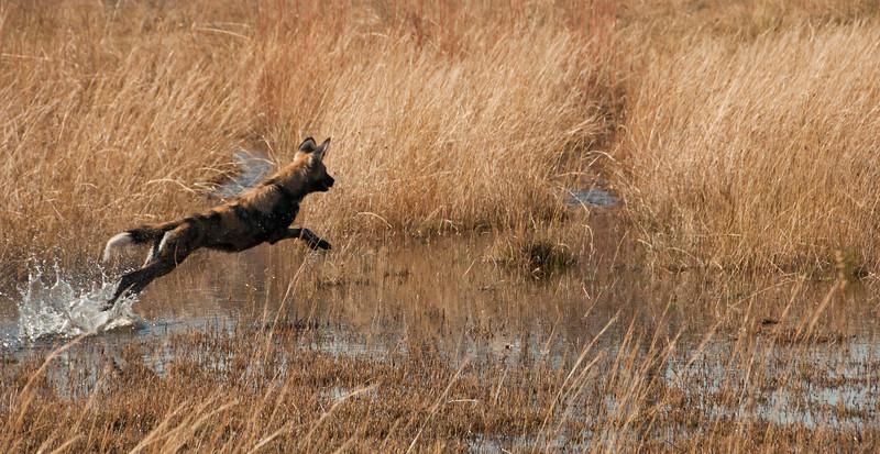 Africa 2012 Botswana Day 9 AM - Linyanti Area - Kings Pool Camp - Wild dog running through water