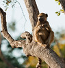 Africa 2012 Botswana Day 9 PM - Linyanti Area - Kings Pool Camp - Baboon in a tree Botswana 2012