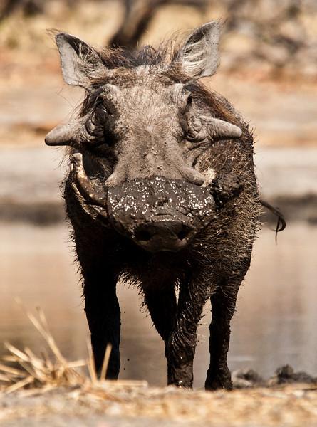 Africa 2012 Botswana Day 8 AM - Linyanti Area - Kings Pool Camp - Warthogs at the hide Botswana 2012