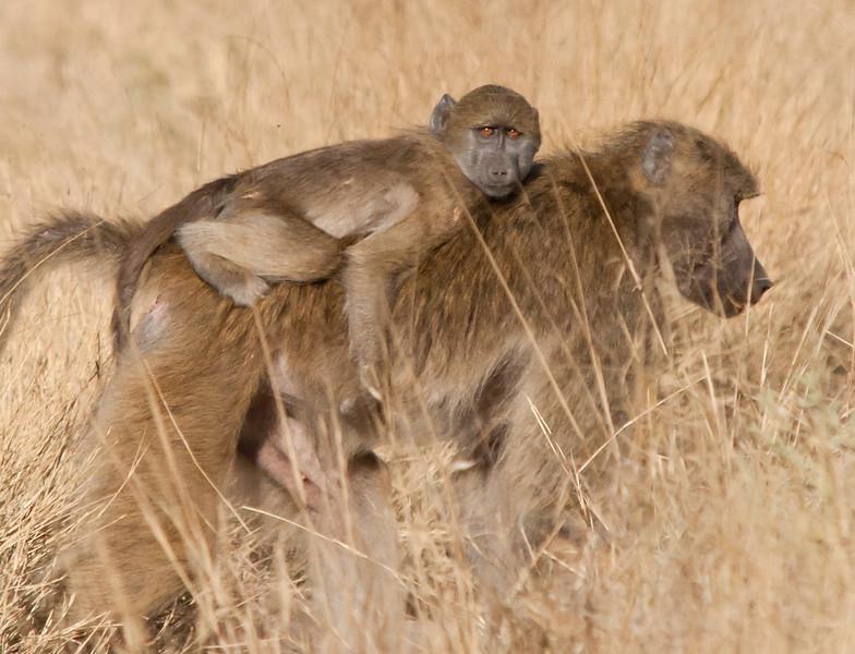 Africa 2012 Botswana Day 5 - Okavango Delta - Xiguera Camp - Baboons - Baby baboon on mother's back