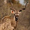 Africa 2012 Botswana Day 7 AM - Linyanti Area - Kings Pool Camp; male Kudu