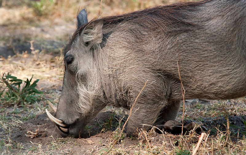 Africa 2012 Botswana Day 8 AM - Linyanti Area - Kings Pool Camp - Warthog Botswana 2012
