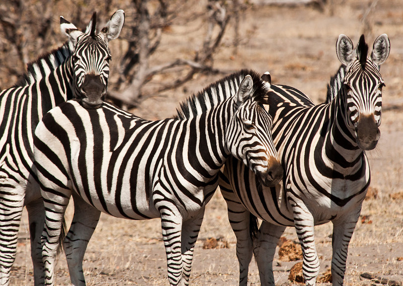 Africa 2012 Botswana Day 9 AM - Linyanti Area - Kings Pool Camp - Zebras Botswana 2012