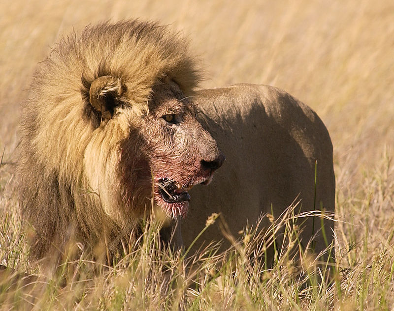 Lion at Buffalo kill