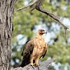 Tawney Eagle