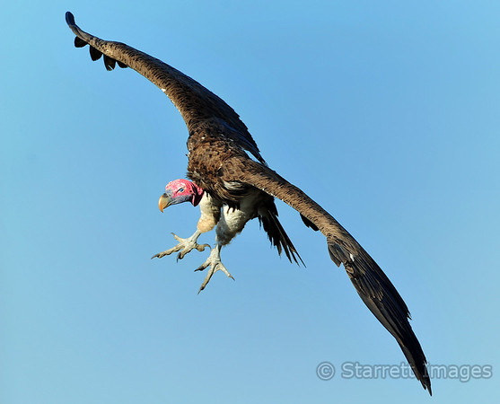 Lapet-faced vulture on final approach