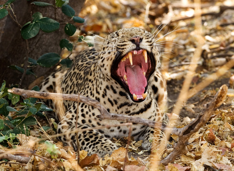 Leopard yawning while resting after a kill