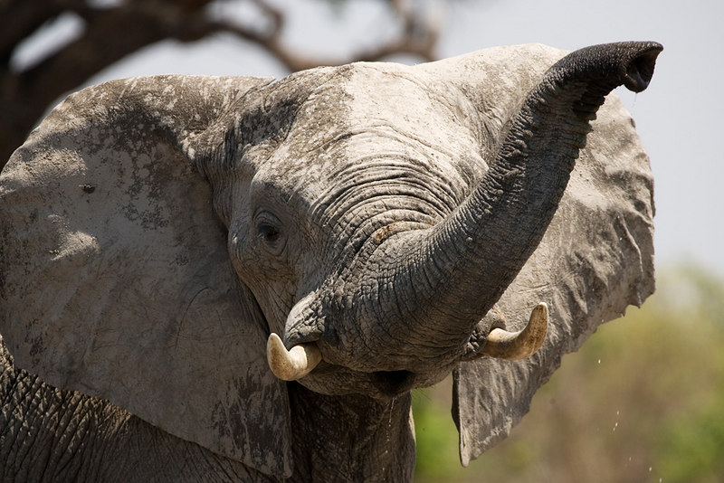 Elephant in the Suvute