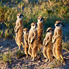 Meerkats greet the morning sun