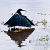 Black egret, creating shadow.  He fishes by creating a shadow and then wiggling his bright yellow toes to attract prey.