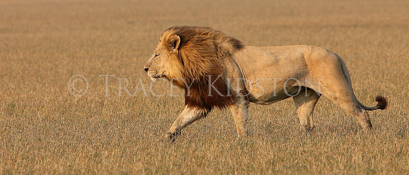 African Lion (Panthera leo)<br /> <br /> You may purchase a print or a digital download. If purchasing a digital download please look at the licensing agreement terms for personal or commercial use.