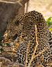 Large male leopard
